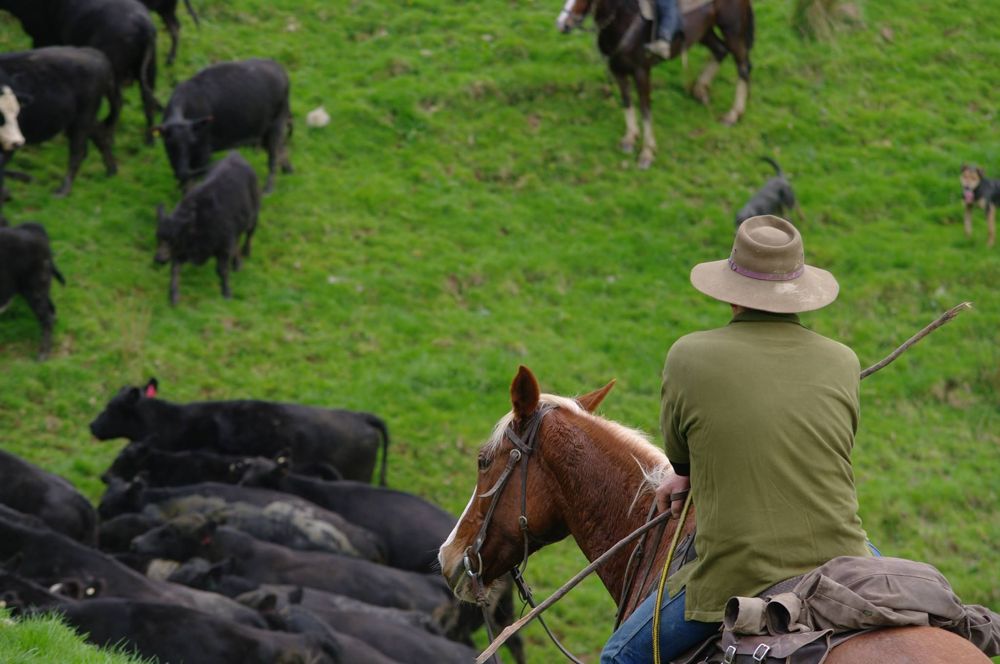 Shepherd watching cattle in Taumarunui