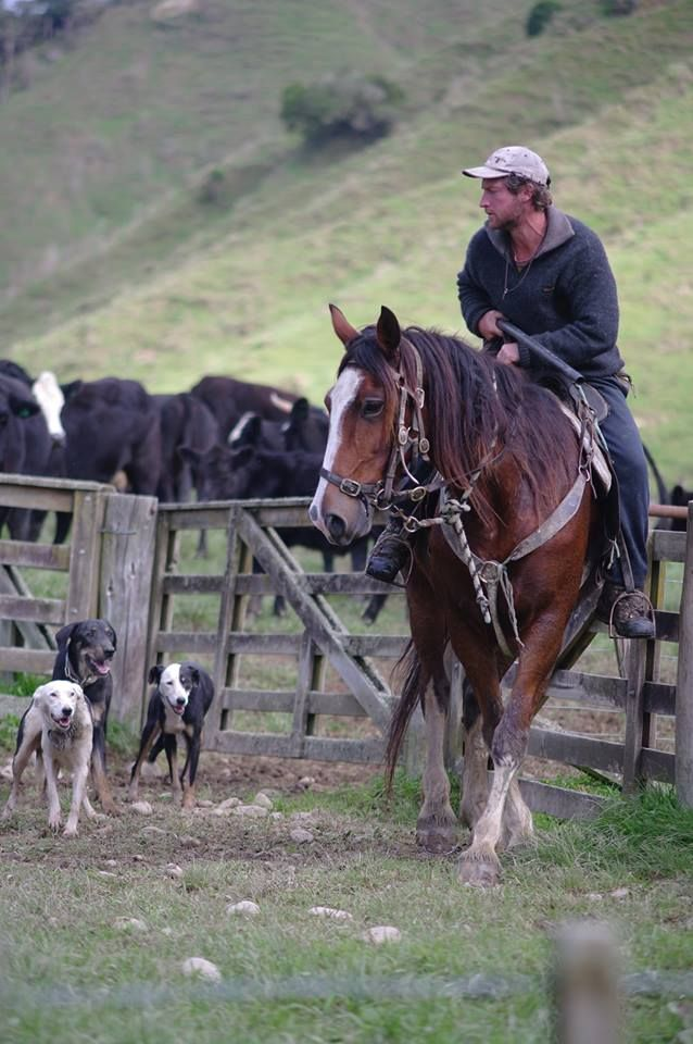 Shepherd and dogs near te Kuiti