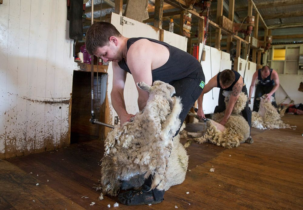 Shearing working on farm near te kuiti