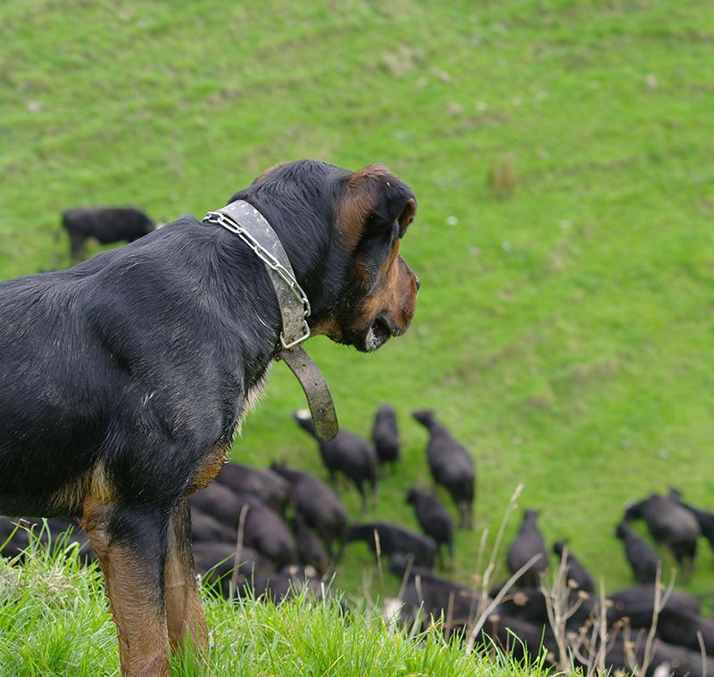 sheep dog watching stock on taumarunui sheep and beef farm