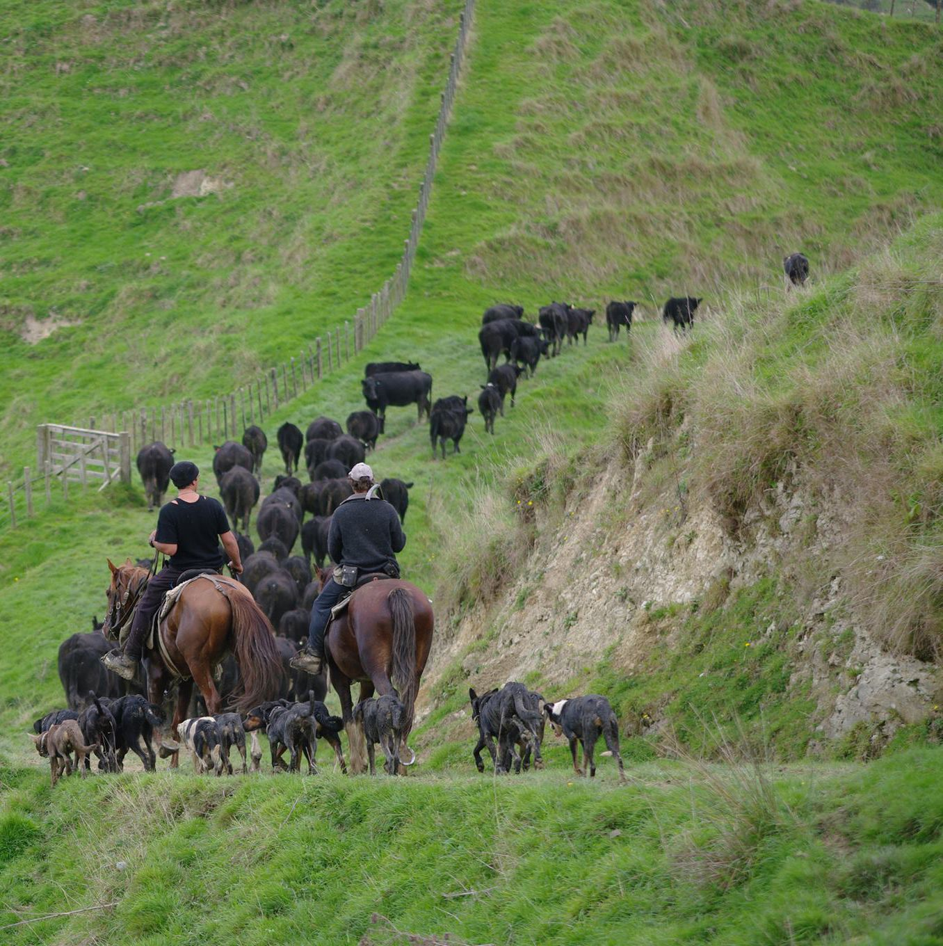 Cattle muster on Taumarunui station